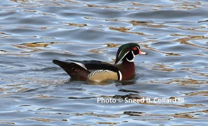 Finally, a male Wood Duck willing to cooperate with the photographers!