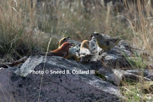 A rare glimpse of crossbills on the ground!
